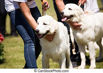 Happy young polish shepherds dogs during the summer dog show