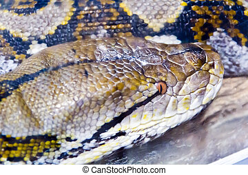 Photo of snake head close up - Photo of reticulated python...