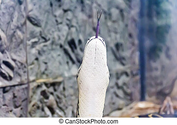 Photo of vertical snake head with put out tongue - Photo of...