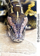 Photo of python head close up in full face - Photo of...