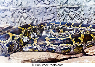 Python head in the midst of stones - Photo of snake python...
