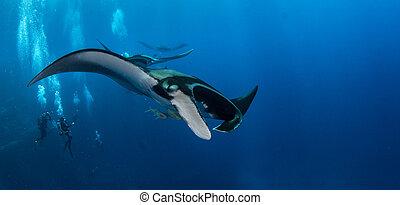 Manta Ray - Picture shows a Manta Ray at Islas...