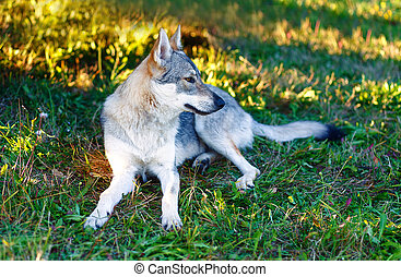 domesticated wolf dog resting relaxed on a meadow....