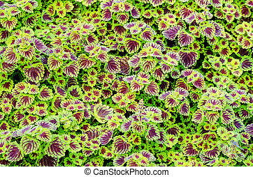 Green claret leaves of ornamental plant - Exotic green...