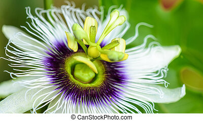 Exotic beautiful flower - Exotic beautiful white and purple...