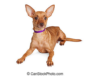 Alert Chihuahua Crossbreed Purple Collar - Attentive...