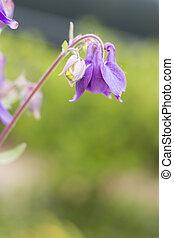 Aquilegia vulgaris - Blue flower of European columbine -...