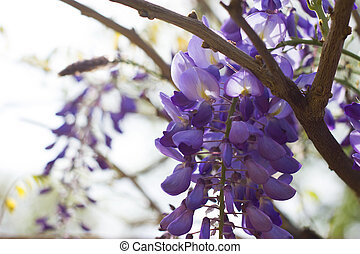 Beautiful flower - Wisteria floribunda - flower photography...