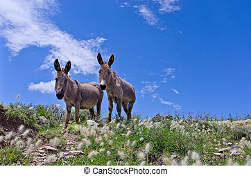 Grey donkeys in the Bolivian countryside