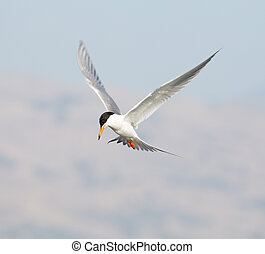 Forster's tern in flight - Named after the German naturalist...