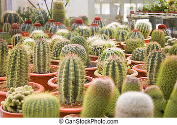 Potted Cactus - Picture of potted cactus ready for sale.