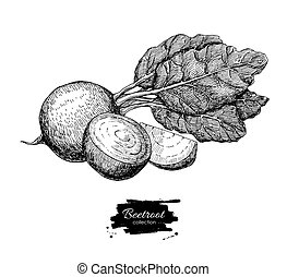 Beetroot hand drawn vector. Vegetable engraved style...