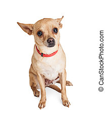 Timid little Chihuahua dog wearing red collar sitting on...