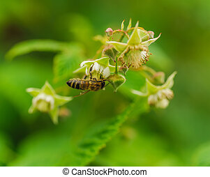 one small bee pollination flower on raspberry cane - one...
