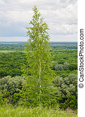 lush foliage of summer birch on forest backgrounds
