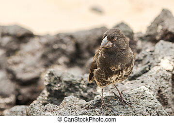 Galapagos Medium-ground Finch (Geospiza fortis) in Santa...