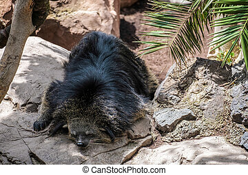 Binturong (Arctictis binturong) asleep at the Bioparc in...