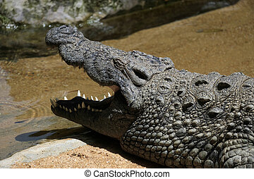 Nile Crocodile Crocodylus niloticus at the Bioparc...