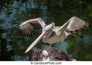 Spot-Billed Pelican Pelecanus philippensis at the Bioparc...