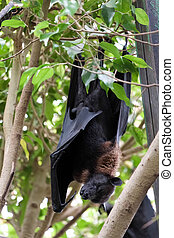Flying Fox Bat Pteropus Asleep at the Bioparc in Fuengirola...