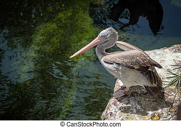 Spot-Billed Pelican (Pelecanus philippensis) at the Bioparc...