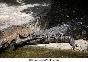 Tomistoma Tomistoma schlegelii resting at the Bioparc...