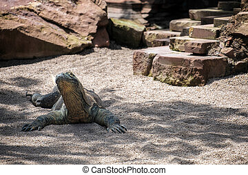 Komodo Dragon Varanus komodoensis at the Bioparc in...