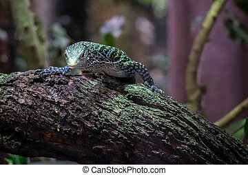 Emerald Tree Monitor Varanus prasinus at the Bioparc...