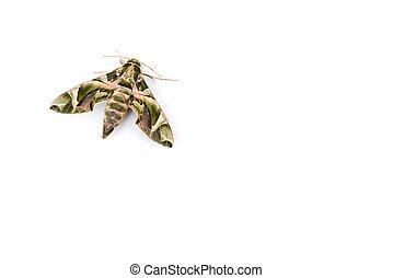 Daphnis nerii -oleander hawk-moth or army green moth