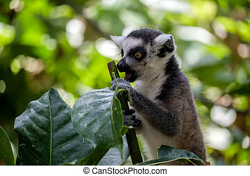 Ring-tailed Lemur Lemur catta - Ring-tailed Lemur Lemur...