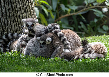 Ring-tailed Lemurs Lemur catta at the Bioparc in Fuengirola...