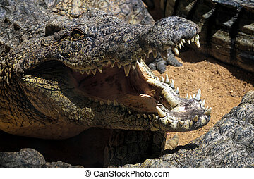 Nile Crocodile (Crocodylus niloticus) at the Bioparc...