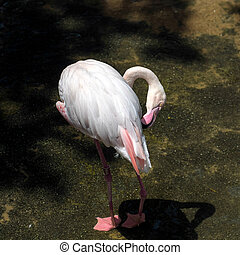 Greater Flamingo (Phoenicopterus roseus) at the Bioparc...