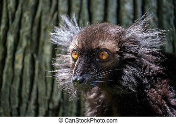 Black Lemur Eulemur macaco at the Bioparc Fuengirola