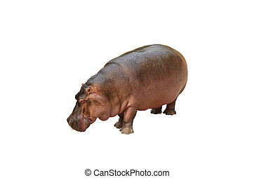 Isolated hippopotamus on white background - View of huge...