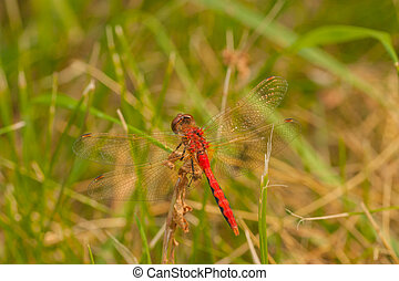 Dorsal View of Red-Veined Darter - Macro of the dorsal view...