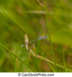 Blue Damselfly on Grass - Macro of a blue damselfly holding...