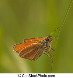 European Skipper Closeup - Macro of a Eurpean skipper...