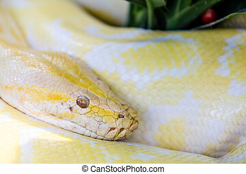 poisonous snake - close up a yellow poisonous snake