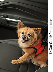 Mixed breed dog in car - Pomeranian and Chihuahua mix dog...