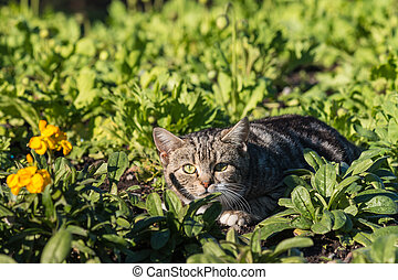 stalking tabby kitten - closeup of stalking tabby kitten