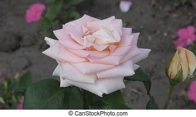 Rose flower in the summer garden - Rose flower blossoms in...
