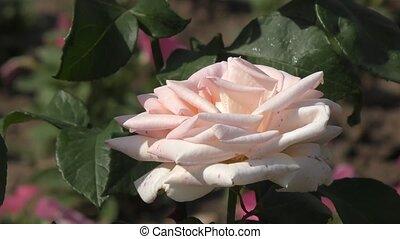 Rose flower in the summer garden - Rose flower blossoms in...