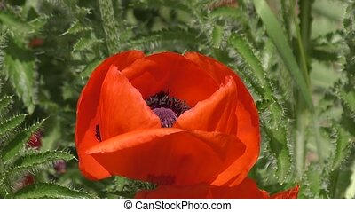 Red poppy flower in spring morning