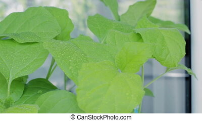 Seedlings of eggplant on windowsill. - Seedlings of eggplant...