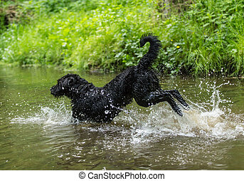 Black dog is jumping in the water.