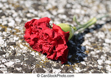 red gillyflower - close photo of red gillyflower lying on...