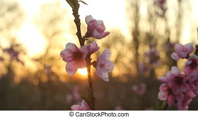 peach blossom with sunshine in the evening