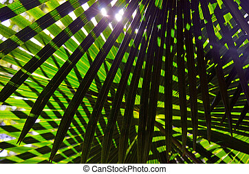 Australian Cabbage Tree Palm leaves - Backlit overlapping...