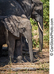Young elephant standing in shade beside family